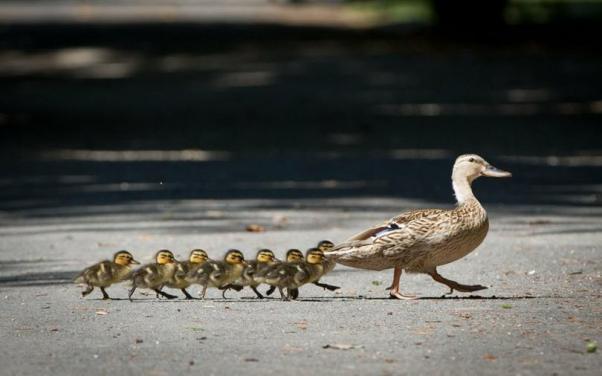 ducks_t810